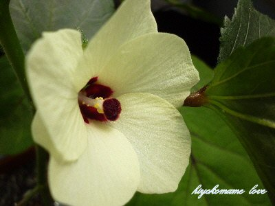 オクラの花.JPG
